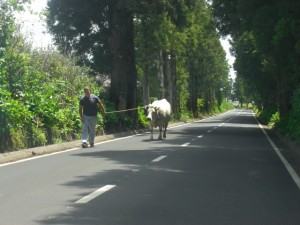 Cow being taken home on the country road.