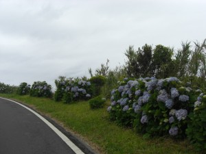 In the early 90s, a British newspaper had complained about the abundance of hydrangeas in the Azores. They had found them too boring.
