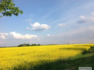 Fields of canola in Germany